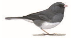 media/posts/junco.png